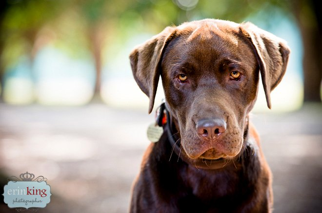 Melbourne Pet Photography – Flynn the Chocolate Labrador