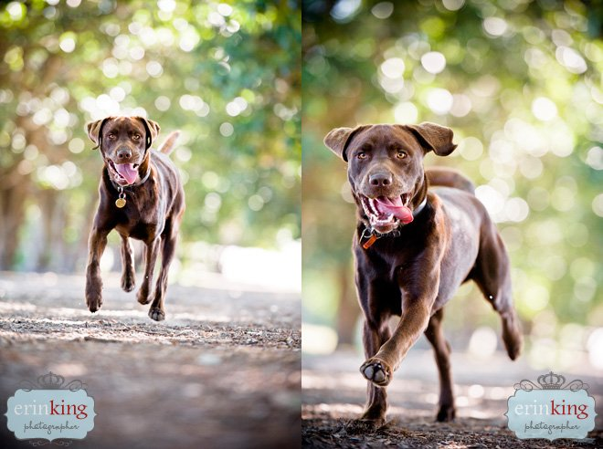 Melbourne Pet Photography Chocolate Labrador
