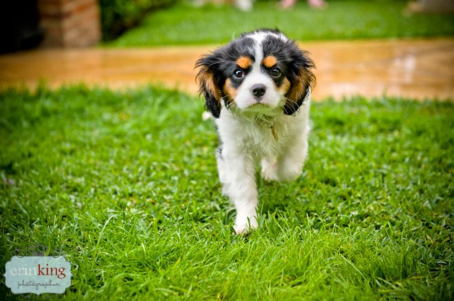 Milly the Cavalier King Charles Puppy running