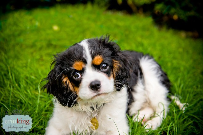 Milly the King Charles Cavalier puppy