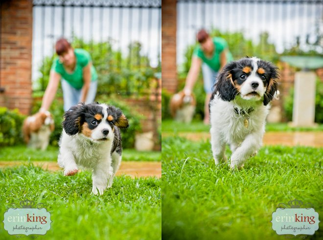Milly the Cavalier King Charles Puppy playing