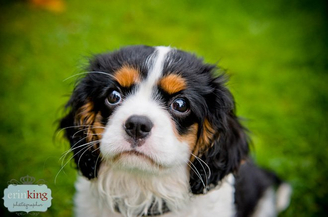 Milly the Cavalier King Charles Puppy