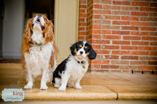 Milly the Cavalier King Charles Spaniel puppy