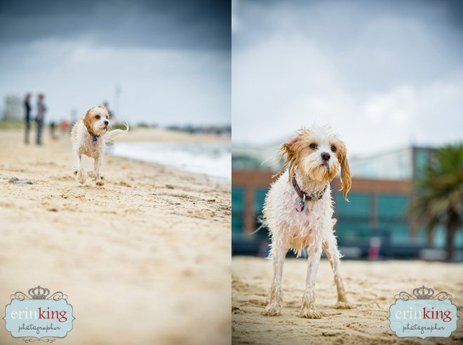 Melbourne Pet Photography of Zuri the Maltalier