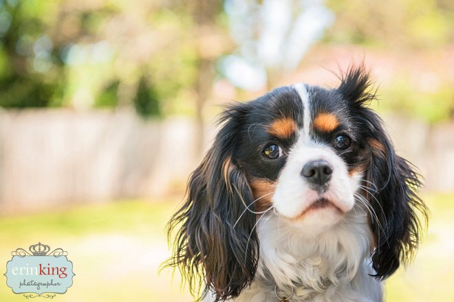 Milly Cavalier Pet Photography