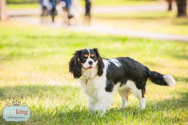 Milly Cavalier Spaniel Pet Photography