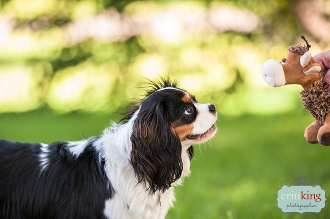 Milly the King Charles Cavalier Spaniel Pet Photography