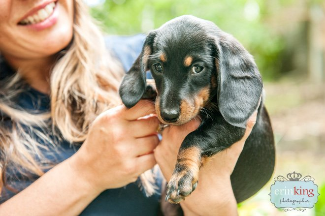 Dachshund puppy pet photography