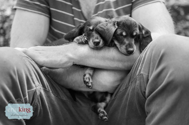 Dachshund Puppies Pet Photography