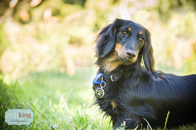 Long haired Dachshund pet photographer