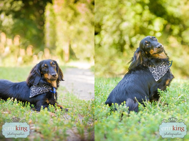 Long haired Dachshund pet photography