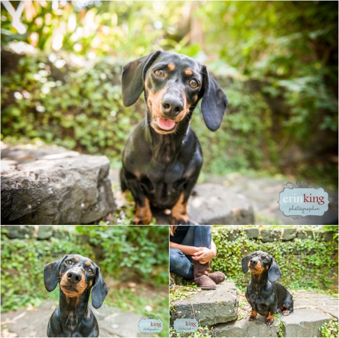 Floella Dachshund Pet Photographer