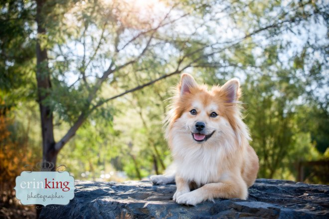 Pomeranian pet photography
