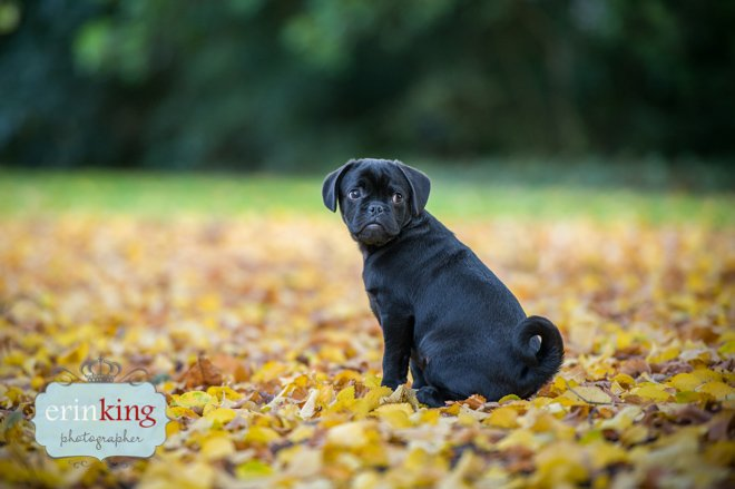 Pugalier Puppy in Autumn Leaves