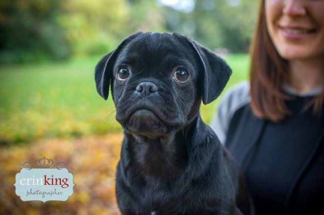 Pugalier Puppy pet photography