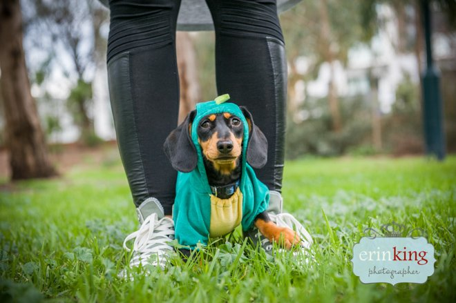 Dachshund pet  photography
