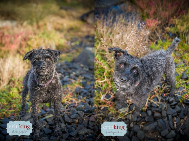 Snoodle Dog Pet Photography