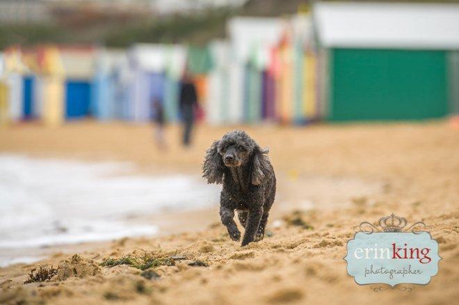 Poodle on brighton beach