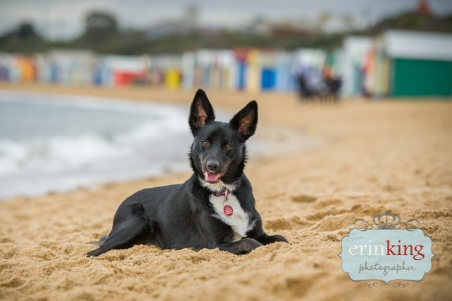 dog on beach - brighton beach boxes