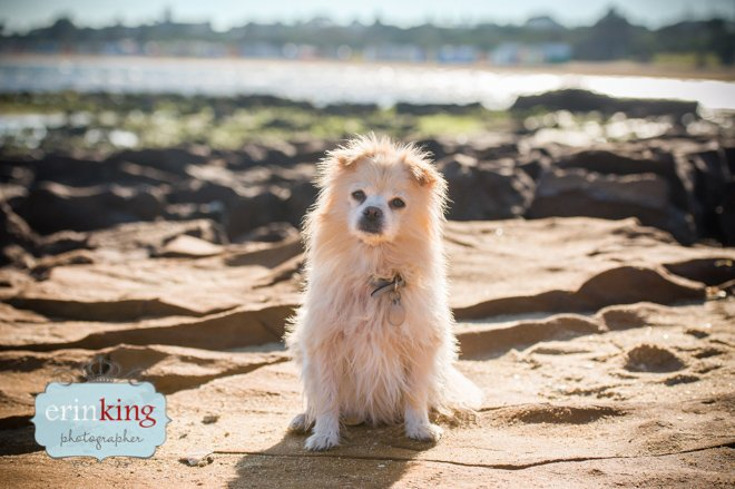 Pomeranian dog photography