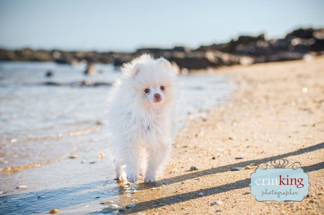 Pomeranian Puppy on beach