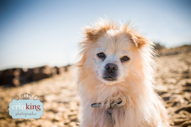 Pomeranian on the beach