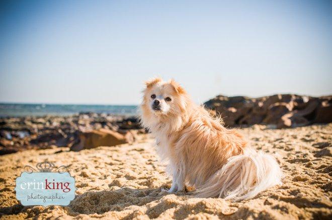 Pomeranian on the beach