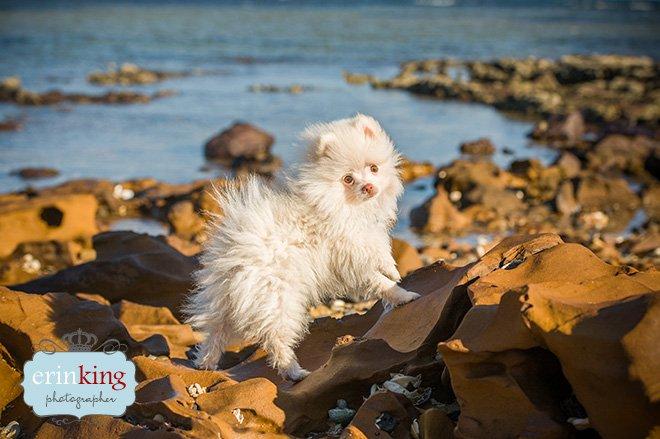 Pomeranian puppy dog photography