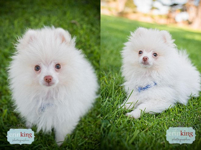 Pomeranian puppy dog photography