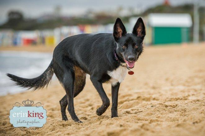 dog on beach brighton beach boxes