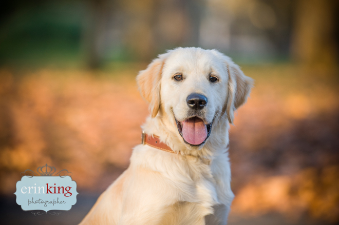 Golden Retriever Pet photography
