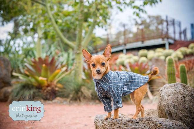Taco Foxy Chihuahua