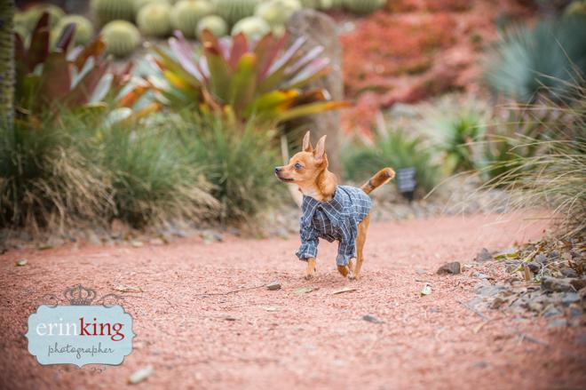 Taco Foxy Chihuahua running
