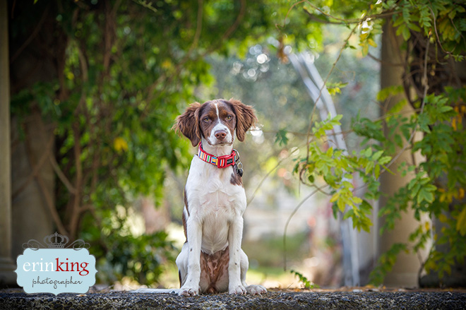 Spaniel Pet Photography