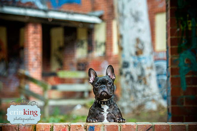 Frenchie pet photography graffeti