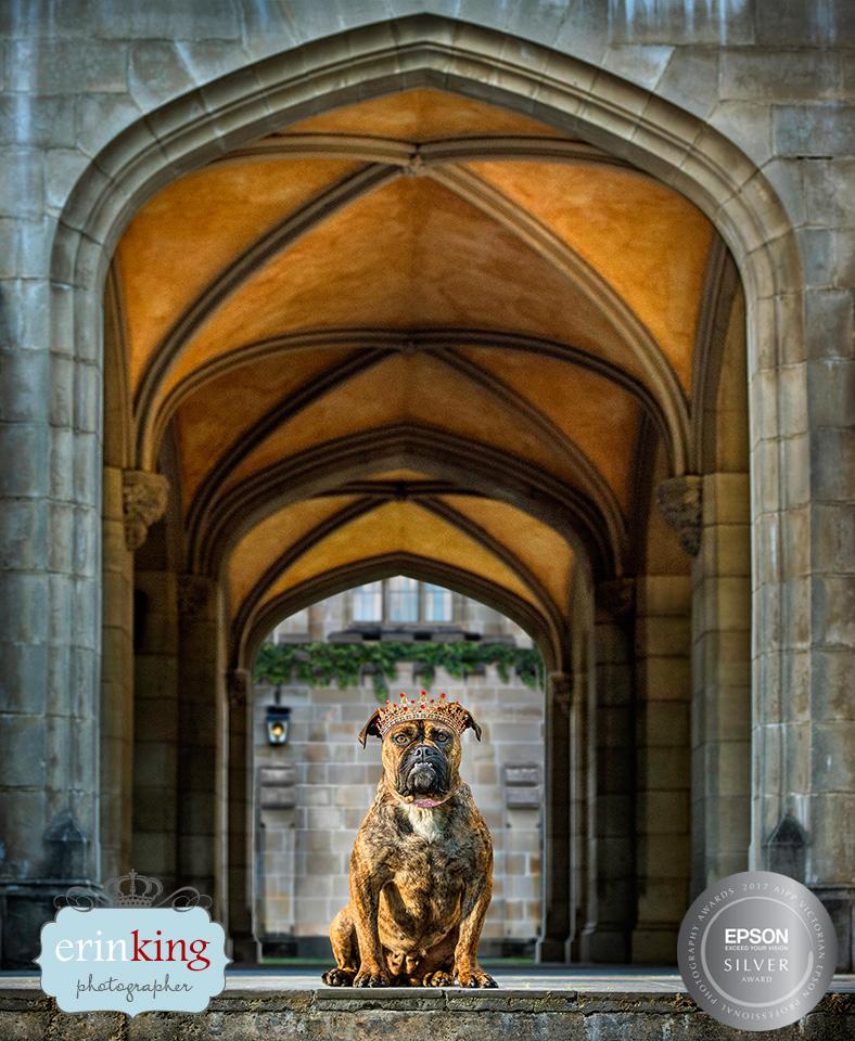 bulldog award winning pet photography