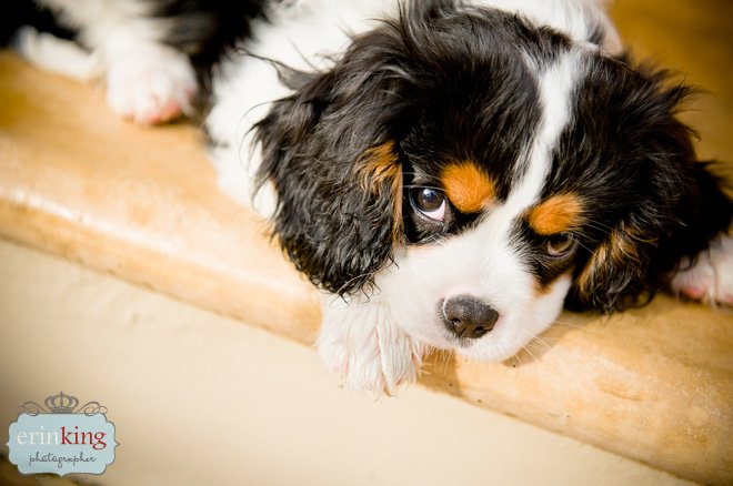 Cavalier King Charles Spaniel Puppy Pet Photography