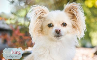 Melbourne Pet Photography – Gracie Dee the Chihuahua