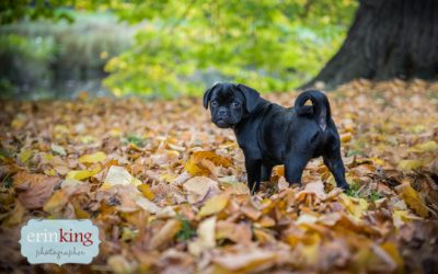 Melbourne Pet Photography – Gus the Pugalier Puppy