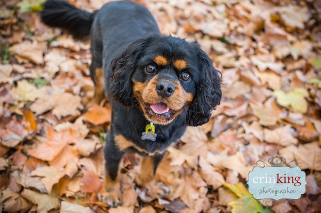Cavalier Spaniel in Autumn Leaves