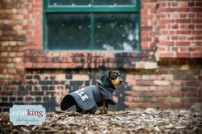 Dachshund pet photography