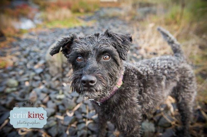 Snoodle Dog Pet Photography