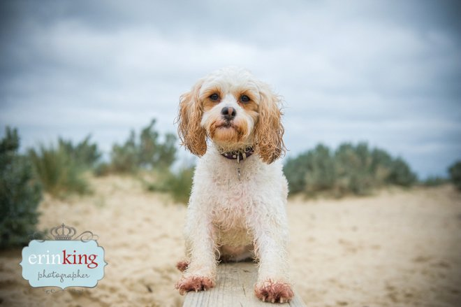 dog at beach melbourne pet photography