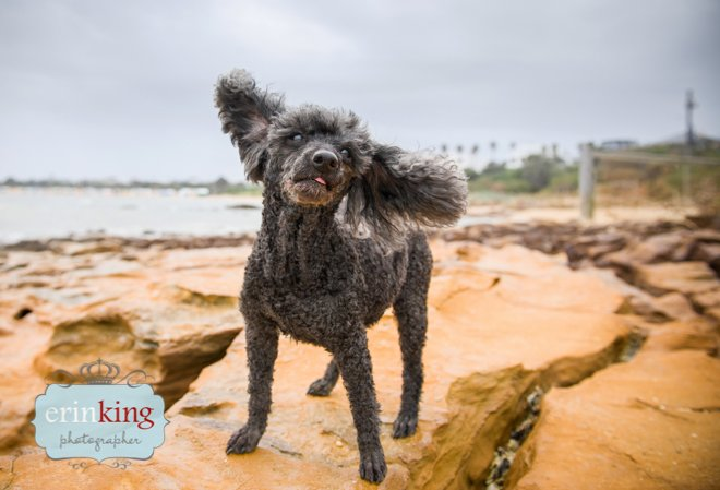 Poodle on beach