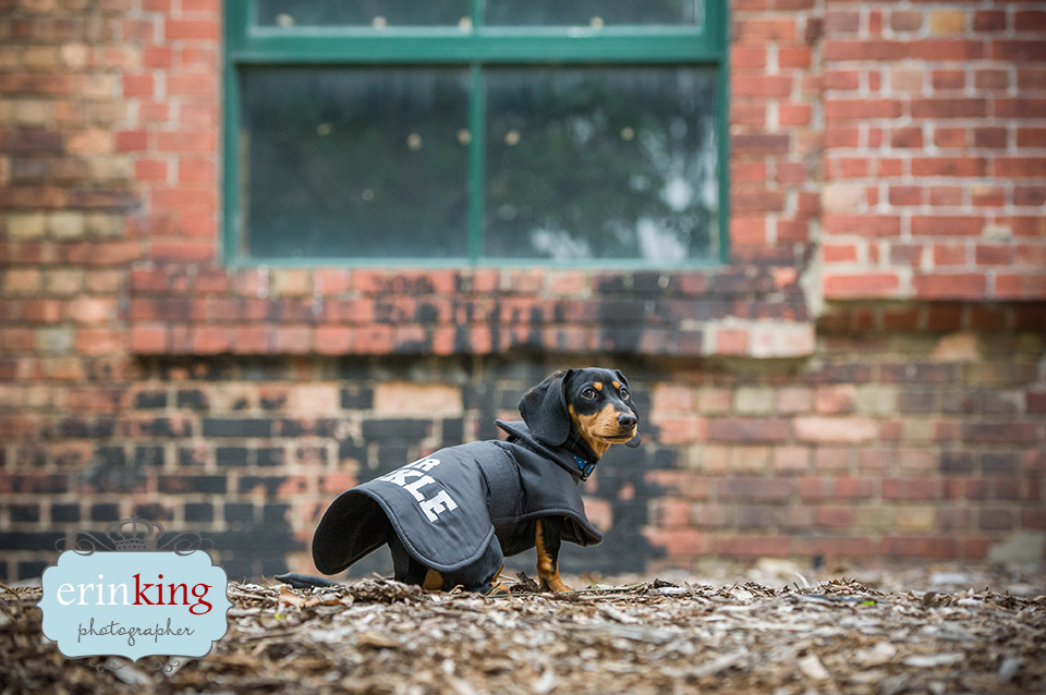 Melbourne Pet Photography – Mr Pickles the Dachshund