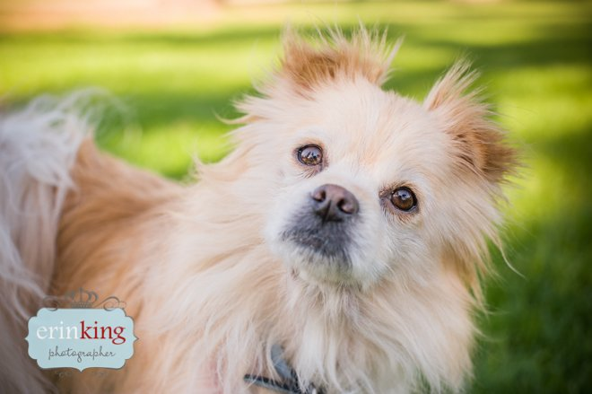 Pomeranian dog photography in Melbourne