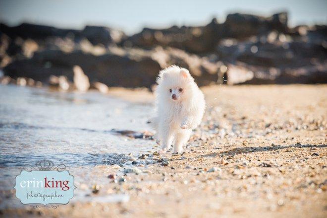 Pomeranian Puppy on beach