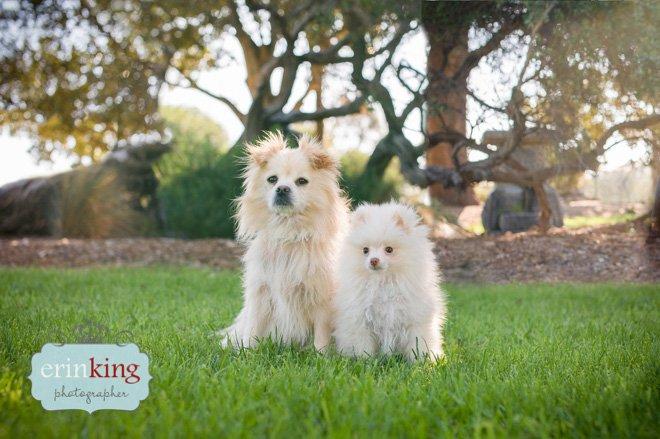 Pomeranian dog photography