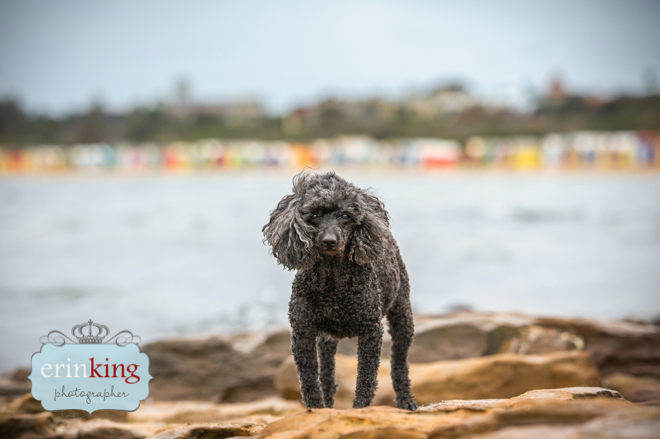 Pet Photography at Brighton Beach Boxes