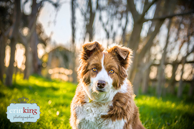 Border Collie Pet Photography